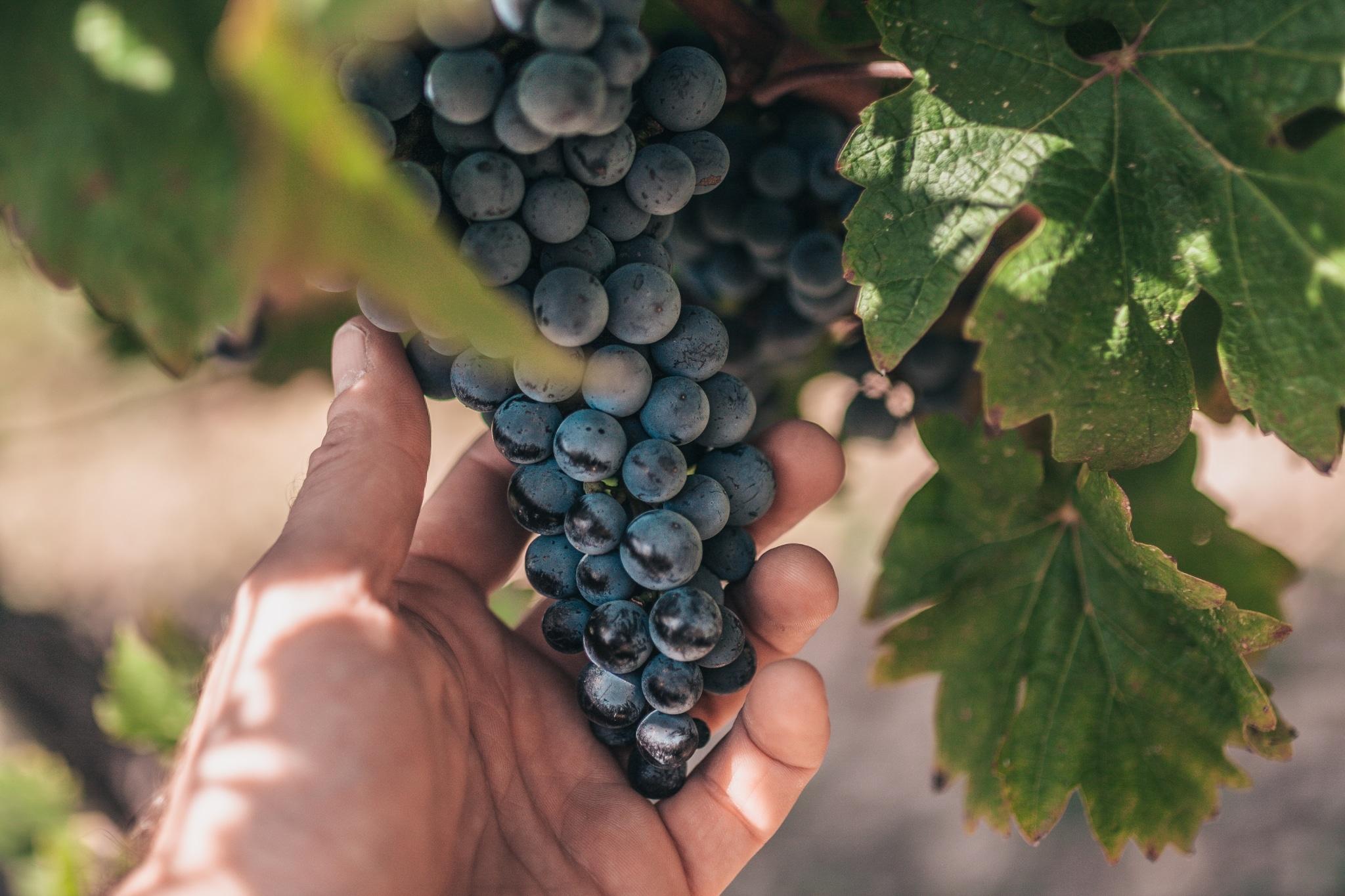Weintrauben von Hand kontrolliert, Weingut Langmann vlg. Lex, Steiermark