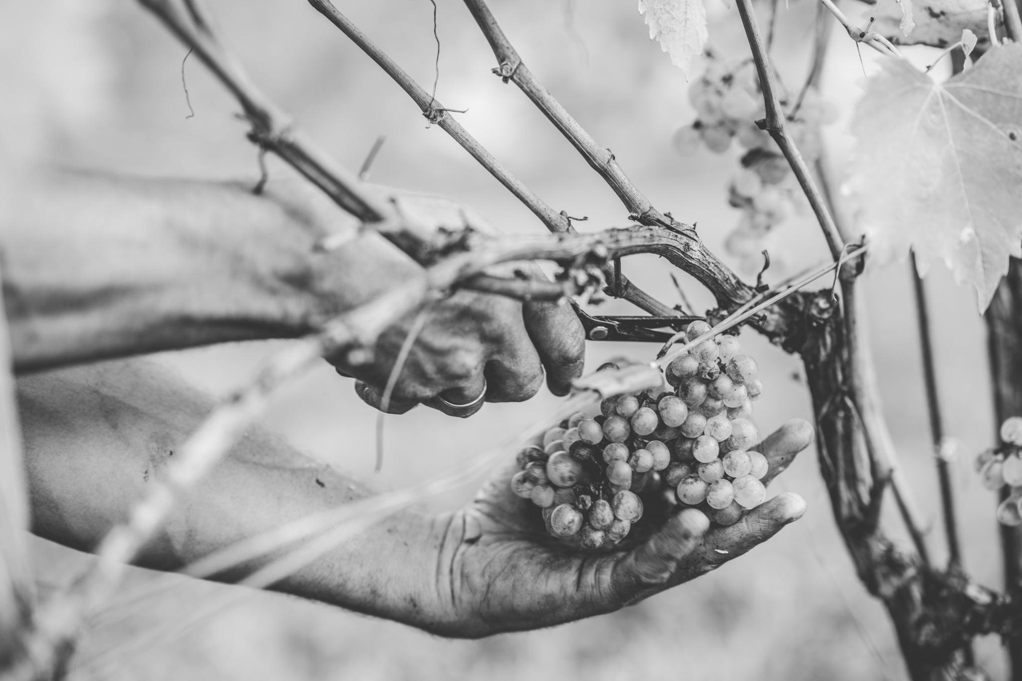Erntezeit bei Langmann, Hand mit Schere und Weintraube, Langegg